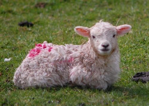 もしゃもしゃ子羊.jpg